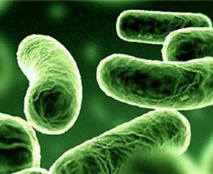 Бактерий в жизни человека бактерии