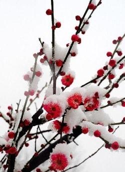 Слива цветет